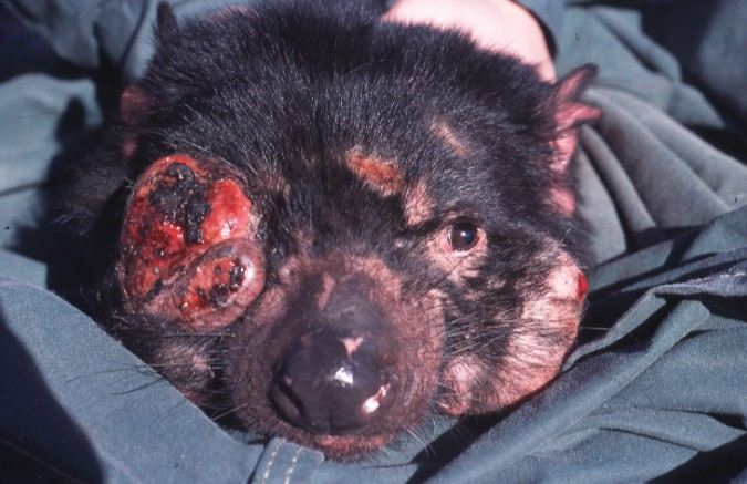 Save the Tasmanian Devil (STTD) Program image